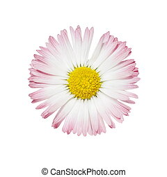 wild daisy isolated on white