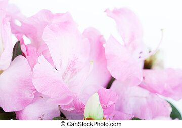 Flowers of a pink azalea close up