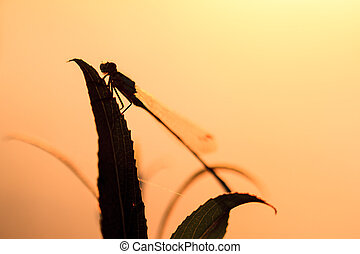 Sunrise damselfly - Silhouette close up of a damselfly at...
