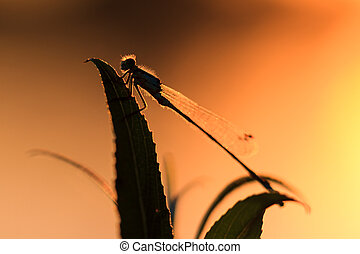 Silhoutte damselfly - Silhouette close up of a damselfly at...