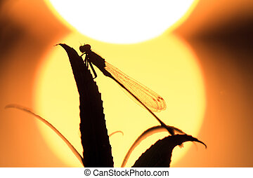 Damselfly silhouette - Silhouette close up of a damselfly at...