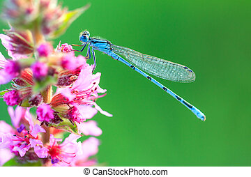 Blue damselfly macro - Common Blue Damselfly Enallagma...