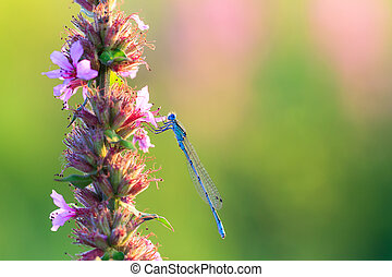 Common blue damselfly - Common Blue Damselfly Enallagma...
