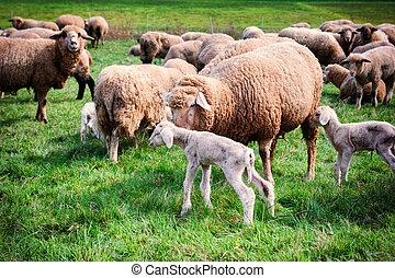 Sheep herd at green field - Sheep herd at green summer field