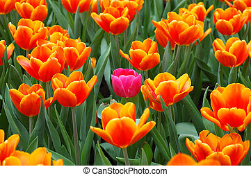 Pink tulip in the group - Pink tulip standout in the group...