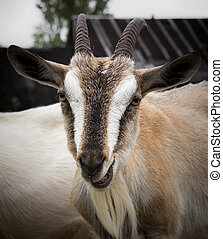 Rural goat - Adult goat village (Alpine breed) with large...