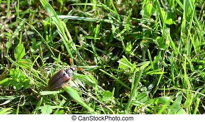 beetle in grass - light brown beetle crawls up arrow grass...