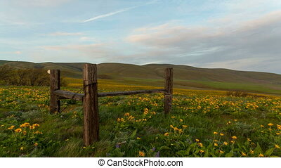 Arrowleaf Balsamroot Wildflowers Blooming in Spring at...