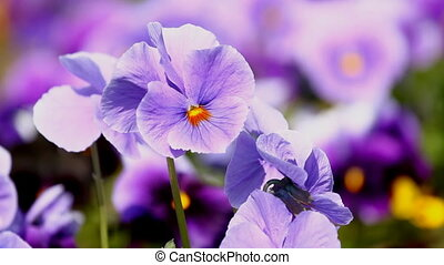 Viola flowers in the summer garden
