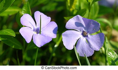 Periwinkle flowers on thee green grass and singing birds