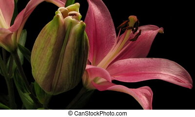 Pink Lily Timelapse - Time-lapse of pink lily flowers...