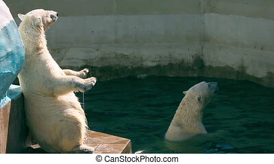 Polar bears - Two polar bears at thw Zoo