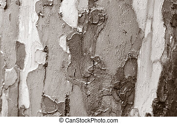 Eucalyptus tree closeup of background and texture. (BW)...