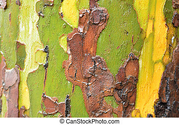 Eucalyptus tree closeup of background and texture