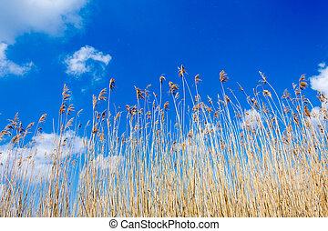 Seedy reed stalks on the wind