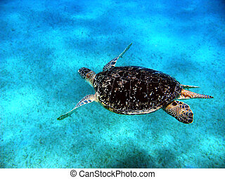 Sea turtle in Red sea, Abu Dabab