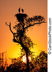 Dawn at jabiru stork nest, Pantanal region, Brazil