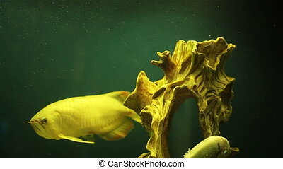 Big fish the old Driftwood - Colorful aquarium fish. Clean...