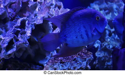 Blue fish - Colorful aquarium fish Clean environment with...