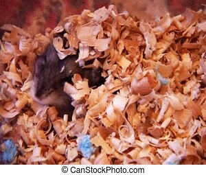 little hamster - a small domestic grey hamster is burrowing...