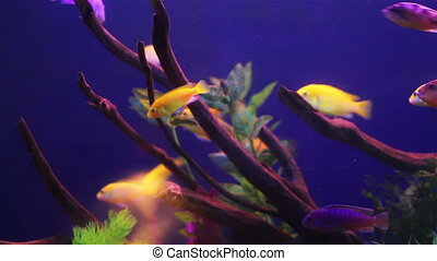 Colored aquarium fish - Colorful aquarium fish. Clean...