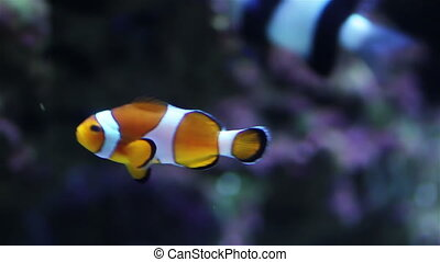 Orange goldfish in Aquarium - Colorful aquarium fish. Clean...