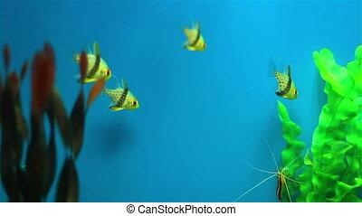Small aquarium fish - Colorful aquarium fish. Clean...