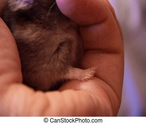 little hamster - small domestic hamster in human hand