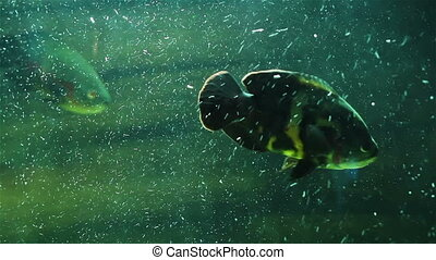 The fish in the air bubbles - Colorful aquarium fish. Clean...