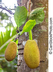 Jackfruits hanging from the trunk This fruit is excellent...