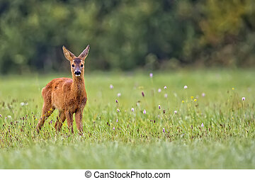 Young roe-deer in a clearing - Young roe-deer in the wild,...