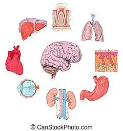 Human organs set of lungs heart brain kidney hand drawn...