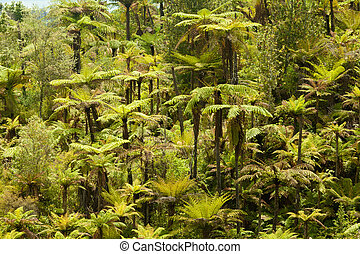Endemic New Zealand tree fern forest wilderness - Grove of...