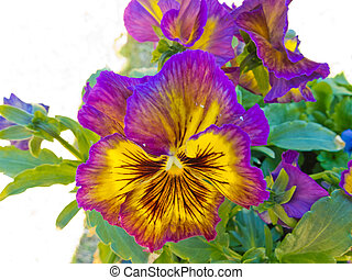 Pansy Viola tricolor colorful flower blossoming - Close-up...