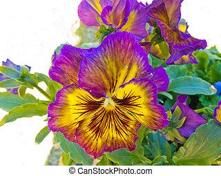 pensamiento, viola, tricolor, colorido, flor, Florecer
