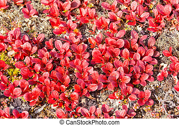 Red Bearberry Arctous rubra shiny fall leaves - Red...