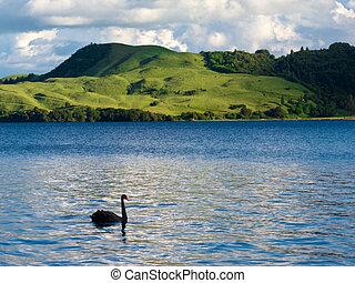 Lake Okatania NZ Black Swan Cygnus atratus - Black Swan,...