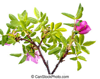 Prickly Wild Rose Rosa acicularis isolated - Prickly Wild...