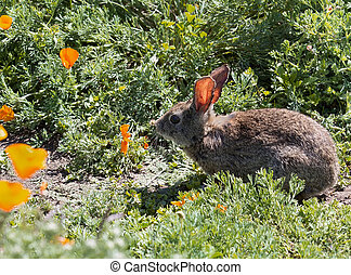 Wild Cottontail Brush Rabbit in spring grass with california...