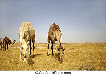 camels - camel in sede boker desert, israel