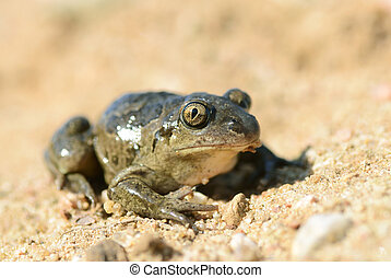 common spadefoot - Common Spadefoot - Pelobates fuscus