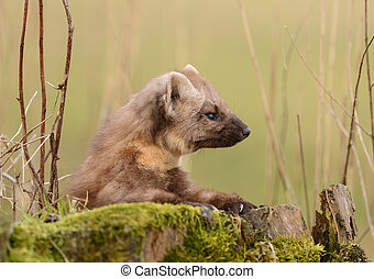 Pine marten rare species in natural habitat (Martes martes)