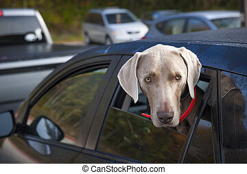 Dog waiting in car - One weimaraner dog looking out of car...
