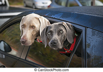 Dogs in car - Two weimaraner dogs looking out of car window...