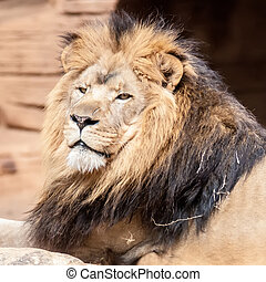 Lion, portrait of the king of beasts