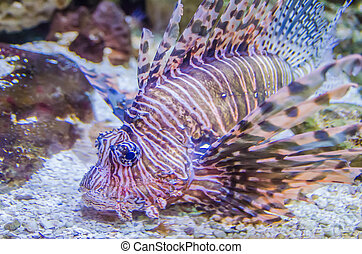 poisonous exotic zebra striped lion fish - poisonous exotic...