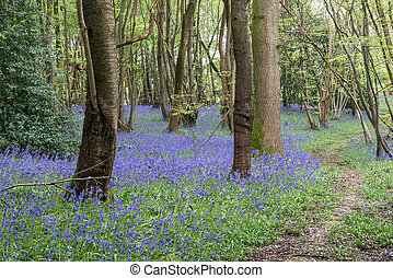 Sussex Bluebells