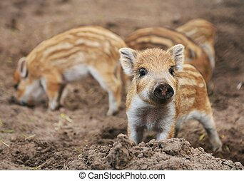 Young wild boar Sus scrofa specie in striped fur