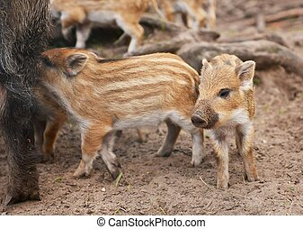 boars - Young wild boar Sus scrofa specie in striped fur