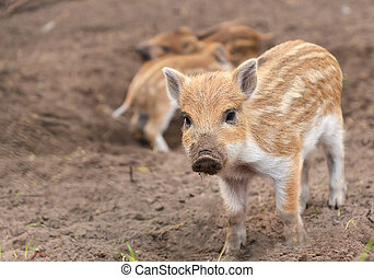 boar - Young wild boar Sus scrofa specie in striped fur